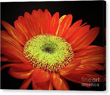 Prado Red Sunflower Canvas Print by Kelly Holm