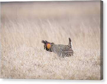 Prairie Chicken 1-2015 Canvas Print by Thomas Young