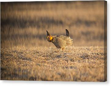 Prairie Chicken 2013-15 Canvas Print by Thomas Young