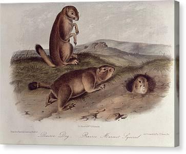 Prairie Dog Canvas Print by John James Audubon