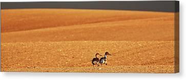 Prairie Storm And Ducks Canada Canvas Print by Mark Duffy