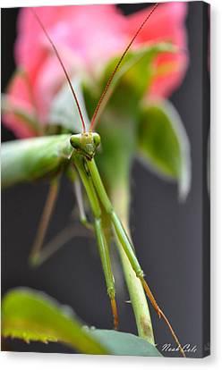 Praying Mantis 3 Canvas Print by Noah Cole
