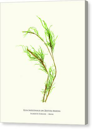 Pressed Seaweed Print, Ulva Intestinalis On Zostera Marina, Falmouth Foreside, Maine. Canvas Print by John Ewen