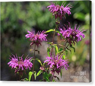 Pretty Flower Bee Balm Peters Purple Canvas Print by Louise Heusinkveld