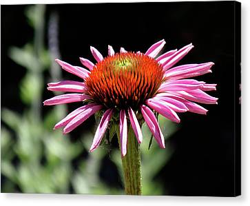 Pretty Pink Coneflower Canvas Print by Rona Black