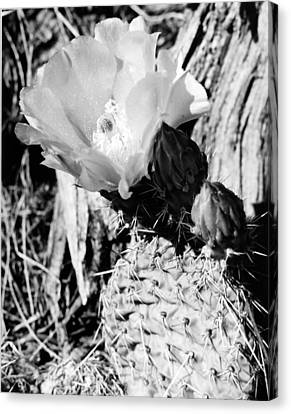 Prickly Beauty Canvas Print by Allan McConnell