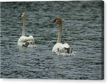 Proud Trumpeter Family Canvas Print by Ron Read