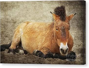 Przewalski-horse Canvas Print by Angela Doelling AD DESIGN Photo and PhotoArt