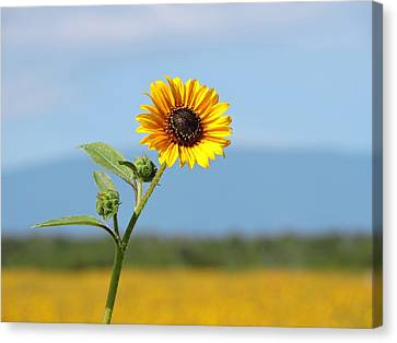 Pueblo Sunflower Canvas Print by Connor Beekman