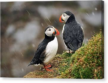 Puffin Couple Canvas Print by Wixmo