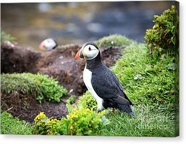 Puffin  Canvas Print by Jane Rix