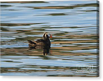 Puffin Reflected Canvas Print by Mike Dawson