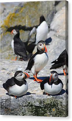 Puffins At Rest Canvas Print by John Burk