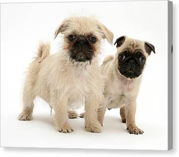 Pugzu And Pug Puppies Canvas Print by Jane Burton