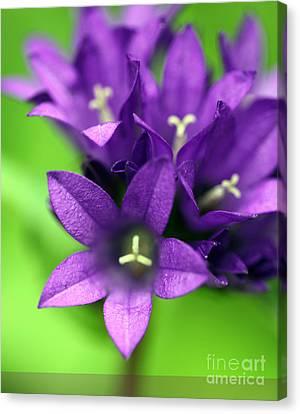 Purple Blooms Canvas Print by Amanda Barcon