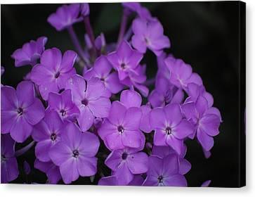 Purple Blossoms Canvas Print by David Lane