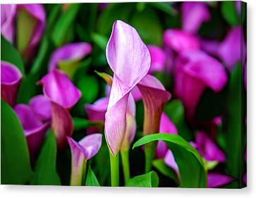 Purple Calla Lilies Canvas Print by Az Jackson