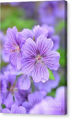 Purple Geranium Canvas Print by Neil Overy