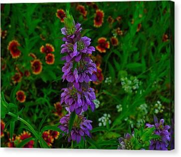 Purple Horsemint Canvas Print by Dennis Nelson