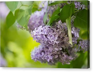 Purple Lilac Canvas Print by Nailia Schwarz