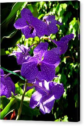Purple Orchids Canvas Print by Susanne Van Hulst