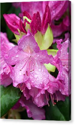 Purple Pink Canvas Print by Marty Koch