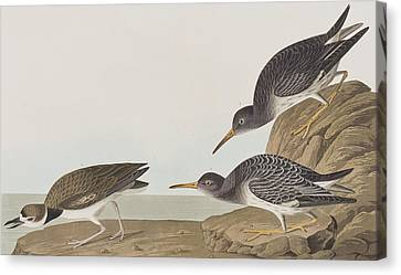 Purple Sandpiper Canvas Print by John James Audubon