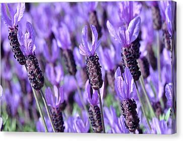 Purple Spanish Lavender Flower Canvas Print by Brandon Bourdages