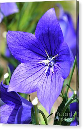 Purple Star Flower Canvas Print by Lisa Kilby