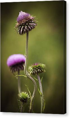 Purple Star Thistle Canvas Print by Marilyn Hunt