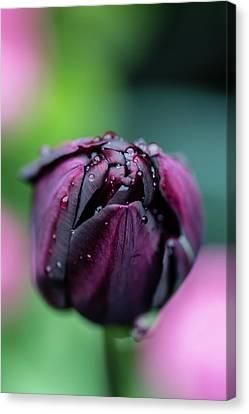 Purple Tulip Canvas Print by Martina Fagan