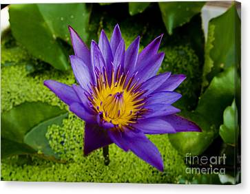 Purple Water Lily Canvas Print by Ray Laskowitz - Printscapes