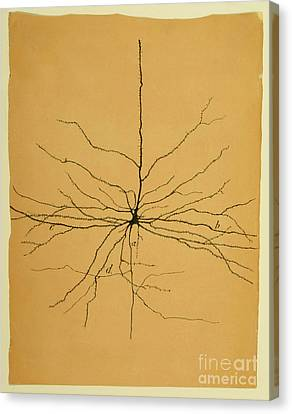 Pyramidal Cell In Cerebral Cortex, Cajal Canvas Print by Science Source