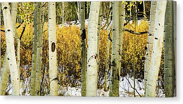 Quakies And Willows In Autumn Canvas Print by TL Mair