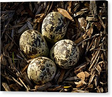 Quartet Of Killdeer Eggs By Jean Noren Canvas Print by Jean Noren