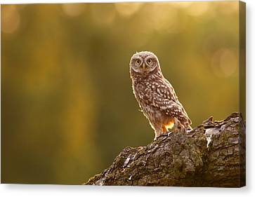 Qui, Moi? Little Owlet In Warm Light Canvas Print by Roeselien Raimond