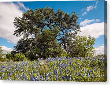 Quintessential Texas Hill Country County Road Bluebonnets And Oak - Llano Canvas Print by Silvio Ligutti