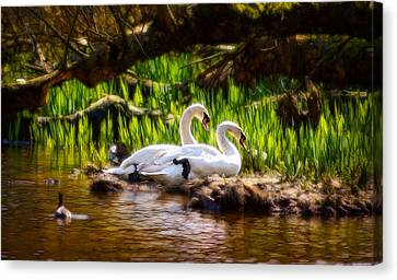 Radiant Swans Canvas Print by Cameron Wood