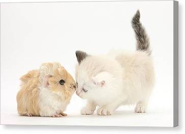 Ragdoll-cross Kitten And Baby Guinea Pig Canvas Print by Mark Taylor