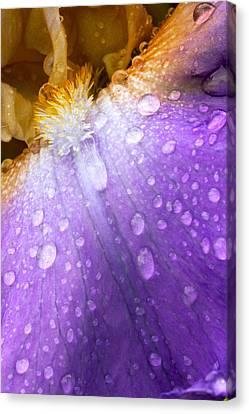 Rain Covered Iris Canvas Print by Amanda Kiplinger