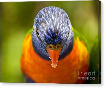 Rainbow Lorikeet Canvas Print by Avalon Fine Art Photography