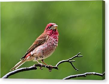 Rainy Day Bird - Purple Finch Canvas Print by Christina Rollo
