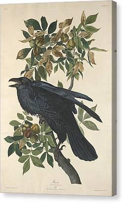 Raven Canvas Print by John James Audubon