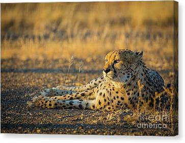 Reclining Cheetah Canvas Print by Inge Johnsson