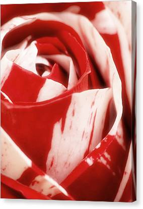 Red And White Rose Canvas Print by Wim Lanclus