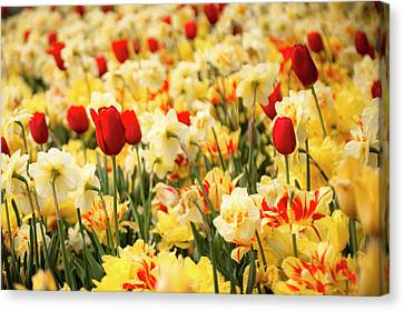 Red And Yellow Canvas Print by Tamyra Ayles