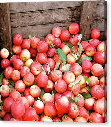 Red Apples Canvas Print by Art Spectrum