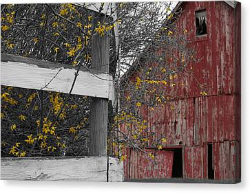 Red Barn And Forsythia Canvas Print by Dylan Punke