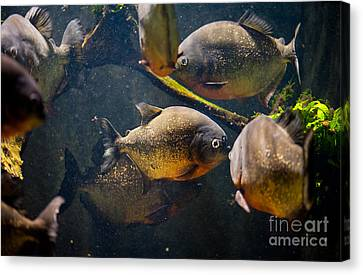 Red Bellied Hungry Piranha Canvas Print by Arletta Cwalina