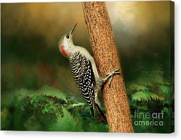 Red Bellied In Search Of Food Canvas Print by Darren Fisher